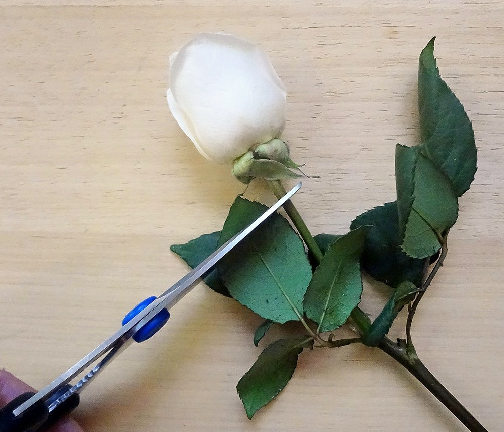 Trim roses for boutonniere