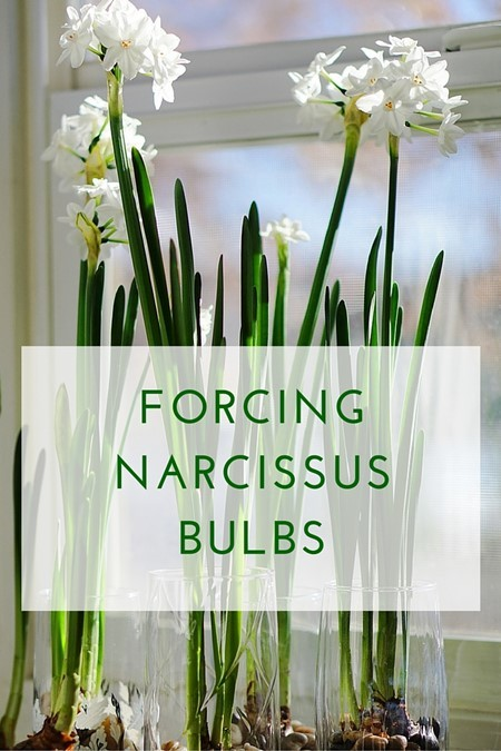 pin-small-FORCING-NARCISSUS-BULBS