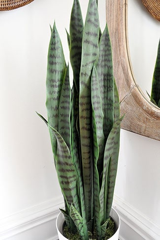 snake plant close up