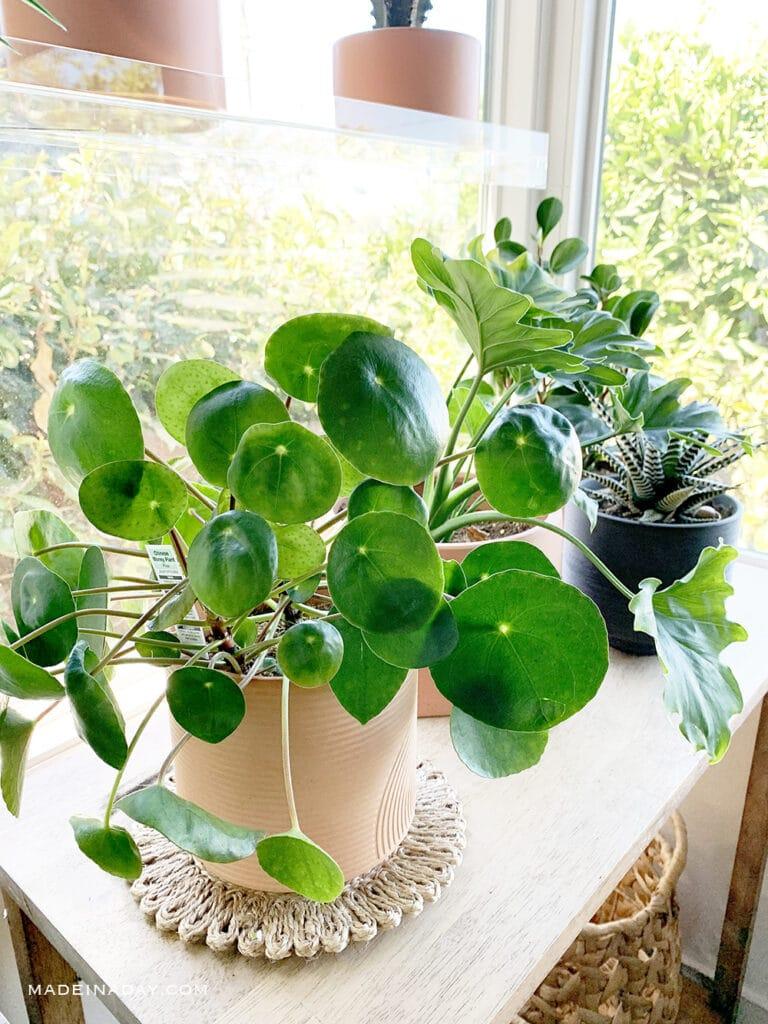 coin plant, embossed terracotta planter, woven trivet
