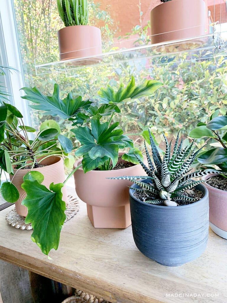 Coin Plant, Philodendron, Zebra Plant, Peperomia Obtusifolia